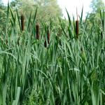 Stems of Common Cattail