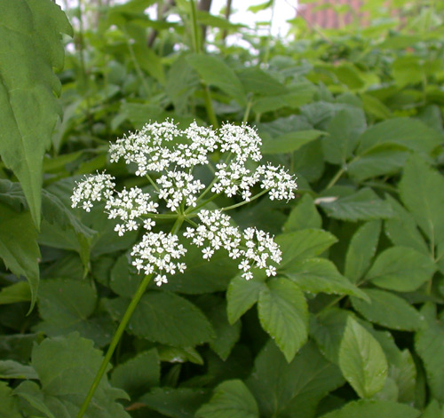 Small White Flower Weed Choice Image - Flower Decoration Ideas