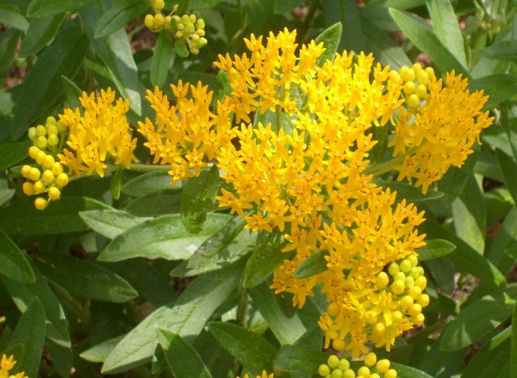 Butterfly weed umass amherst greenhouse crops and floriculture program butterfly weed flowers mightylinksfo Images