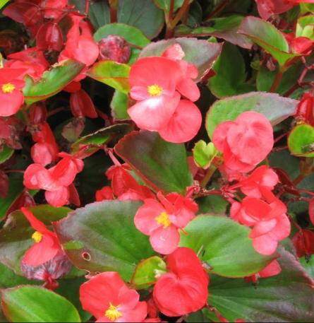 Wax Begonia Umass Amherst Greenhouse Crops And Floriculture Program