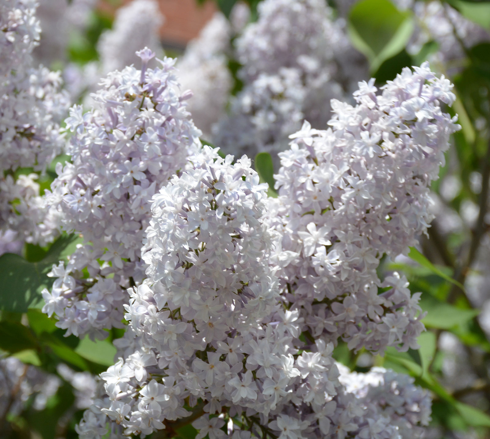 Lilac Umass Amherst Greenhouse Crops And Floriculture Program