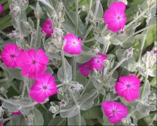 Rose campion umass amherst greenhouse crops and floriculture program rose campion flowers mightylinksfo