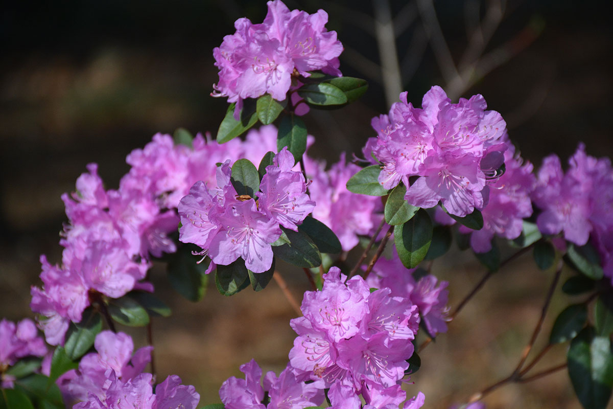 Pjm rhododendron group umass amherst greenhouse crops and pjm rhododendron flowers mightylinksfo