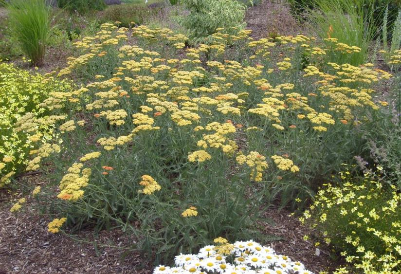 Common Yarrow Umass Amherst Greenhouse Crops And