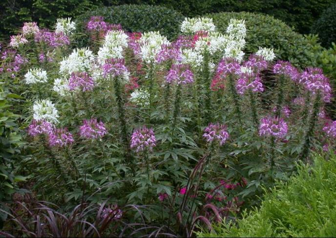 Spider Flower Umass Amherst Greenhouse Crops And