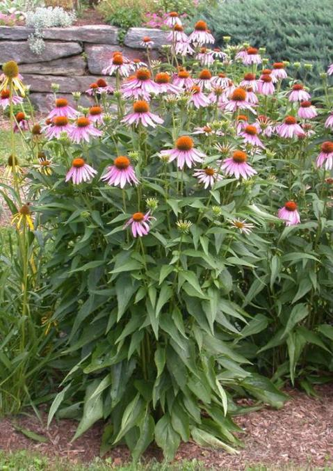Purple coneflower umass amherst greenhouse crops and floriculture purple coneflower mightylinksfo