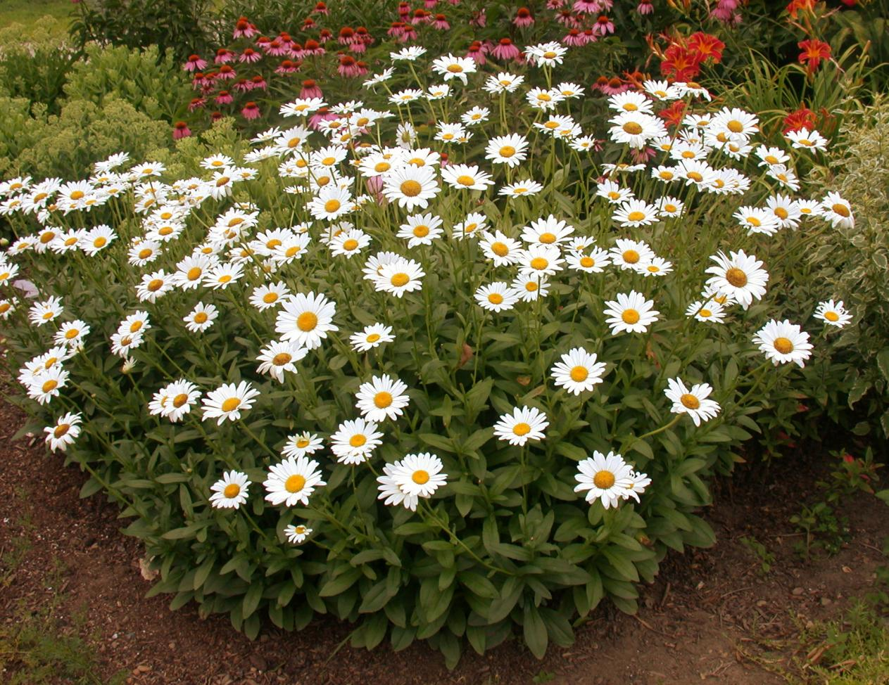 Shasta Daisy Umass Amherst Greenhouse Crops And Floriculture Program