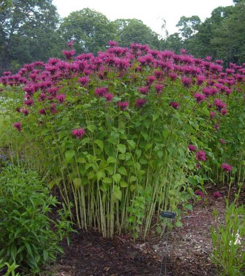 Bee-Balm | UMass Amherst Greenhouse Crops And Floriculture Program