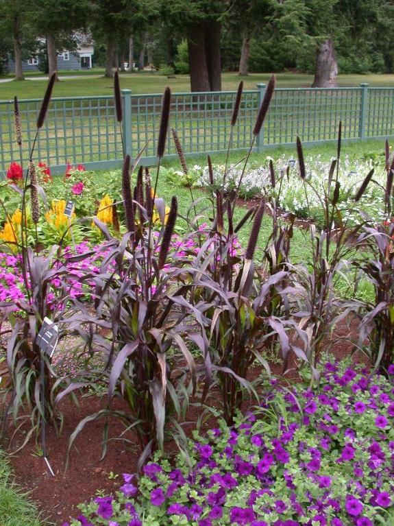 Purple millet umass amherst greenhouse crops and floriculture program purple millet plant habit mightylinksfo