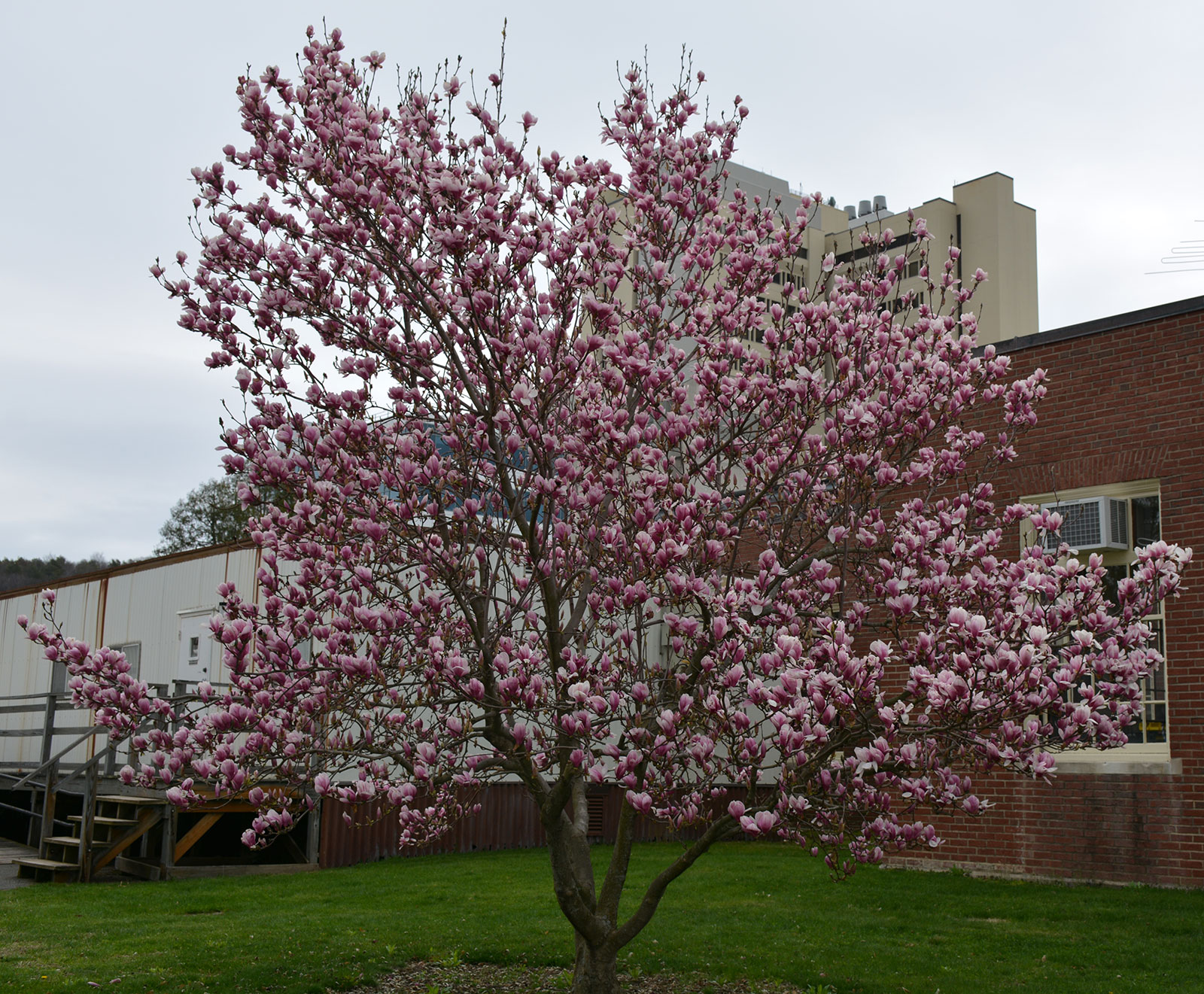 Saucer Magnolia Umass Amherst Greenhouse Crops And Floriculture