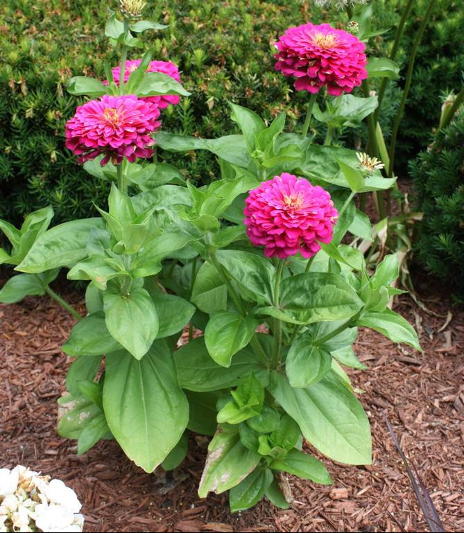 Common Zinnia Umass Amherst Greenhouse Crops And Floriculture Program