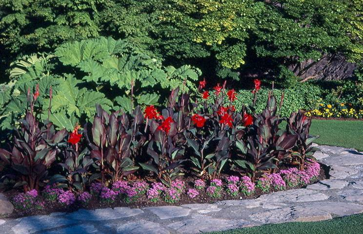 Canna Lily Umass Amherst Greenhouse Crops And
