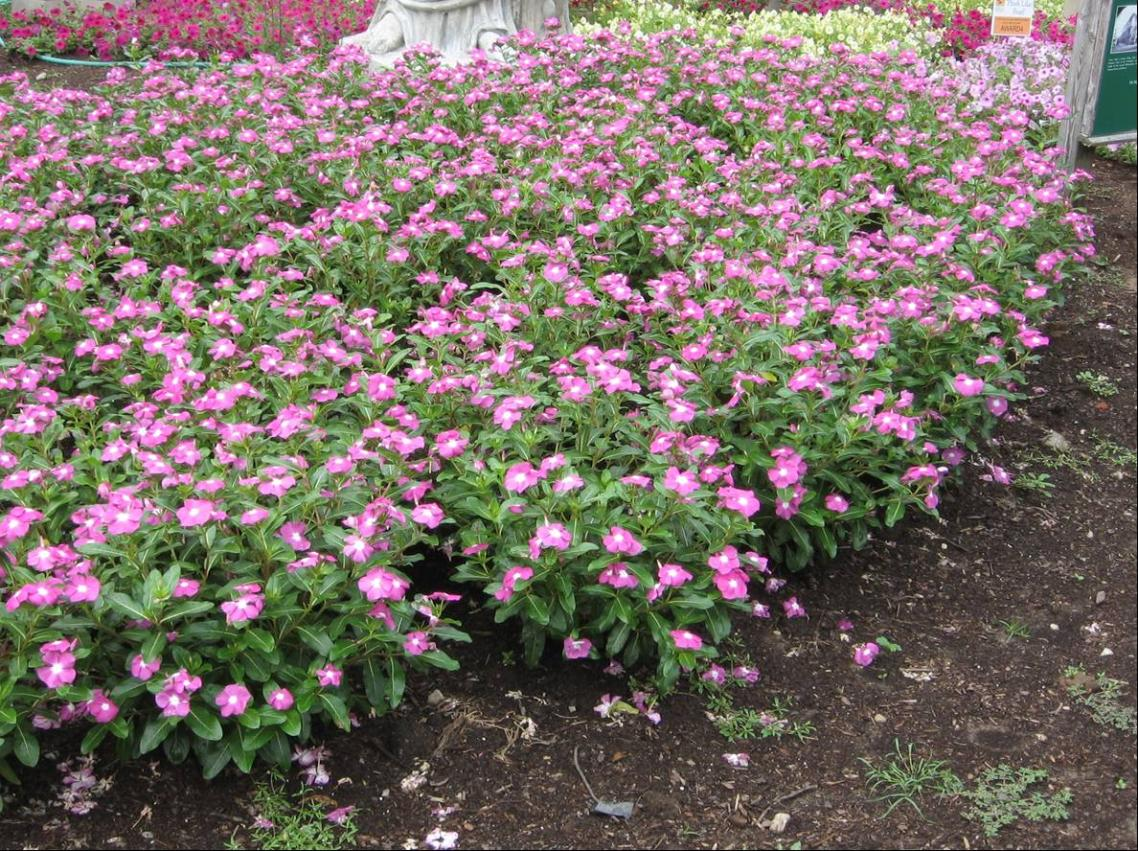Annual Vinca Umass Amherst Greenhouse Crops And Floriculture Program