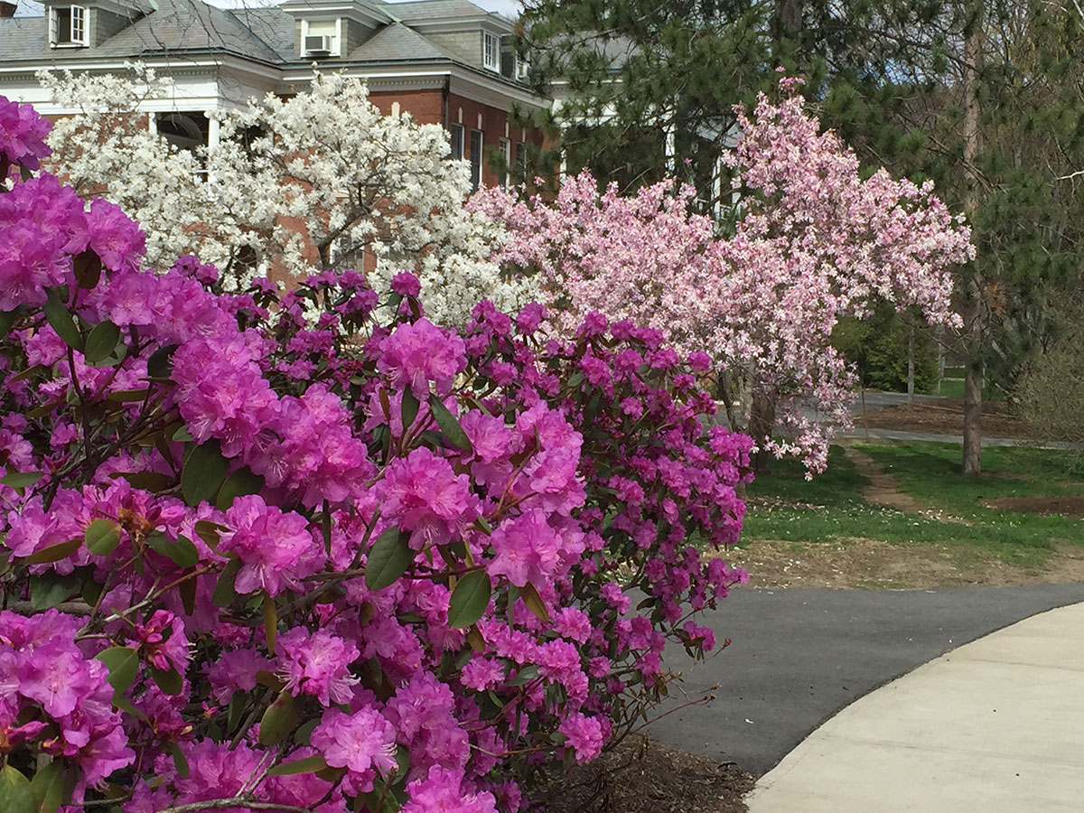 Pjm Rhododendron Group Umass Amherst Greenhouse Crops And