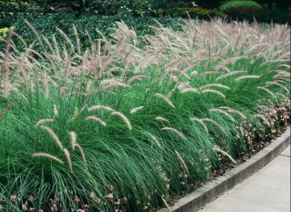 Fountain Grass | UMass Amherst Greenhouse Crops And Floriculture Program