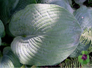 Siebold Hosta Umass Amherst Greenhouse Crops And Floriculture Program