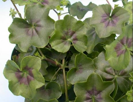 Ivy Geranium | UMass Amherst Greenhouse Crops and ...