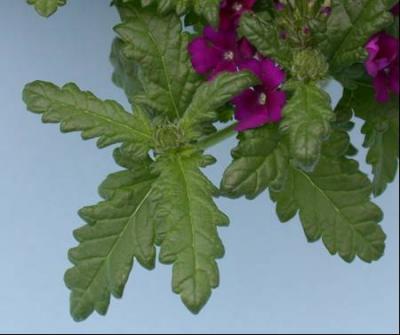 Garden Verbena Leaves