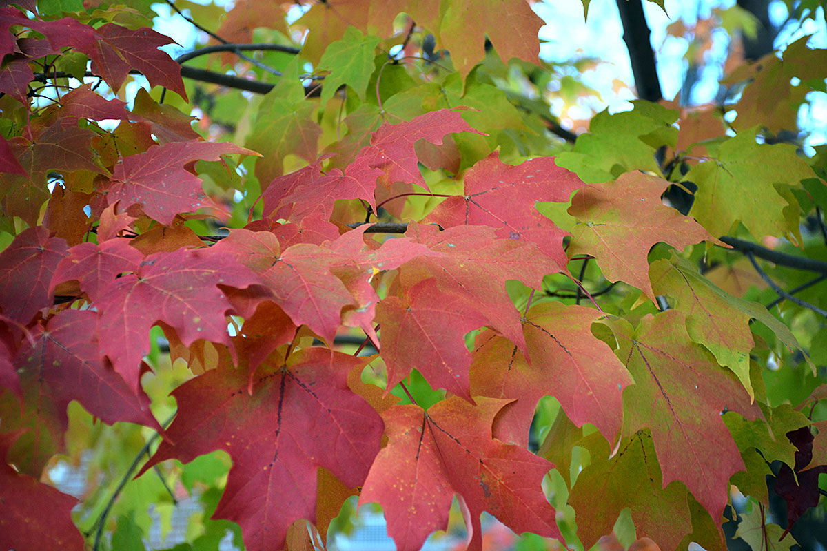 Sugar Maple | UMass Amherst Greenhouse Crops and Floriculture Program