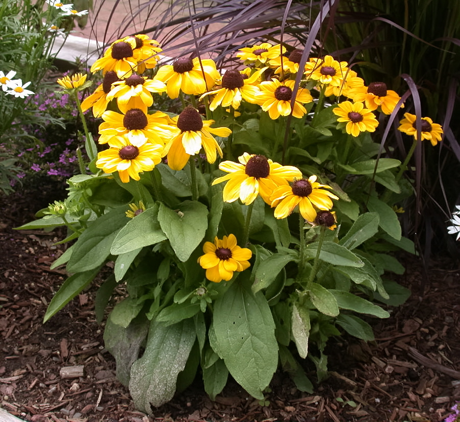 Black Eyed Susan Umass Amherst Greenhouse Crops And Floriculture