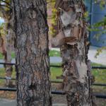 Betula nigra older bark