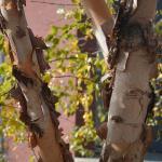 Betula nigra exfoliating bark