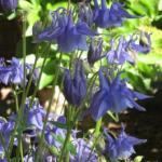 Hybrid Columbine Flowers