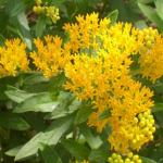 Butterfly-Weed Flowers