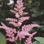 Hybrid Astilbe Flowers
