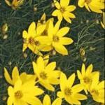 Thread-leaf Tickseed Flowers