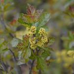 Rhus aromatica Gro-low flowers