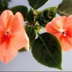 Garden Impatiens Flowers