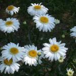 Shasta Daisy Flowers