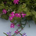 Lobelia Flowers