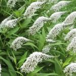 Gooseneck Loosestrife Flowers