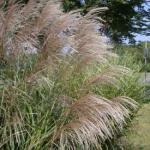 Eulalia Grass Flowers