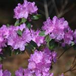 PJM Rhododendron flowers