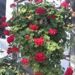 Ivy Geranium Flowers