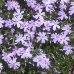 Moss Phlox Flowers