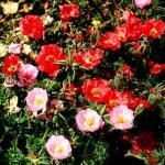Rose Moss Flowers