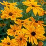 Black-eyed Susan Plant Habit Growth
