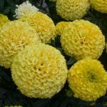 American Marigold Flowers