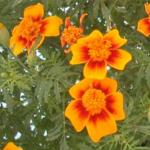 Signet Marigold Flowers
