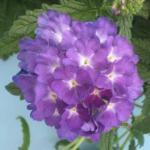 Garden Verbena Flowers