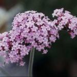 Tall Verbena Flower