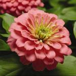 Common Zinnia Flowers