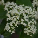 Siebold viburnum flower