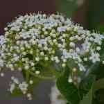Flower cyme