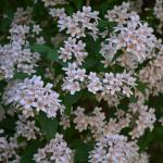 Kolkwitzia amabilis flowers