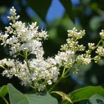 Syringa reticulata flower